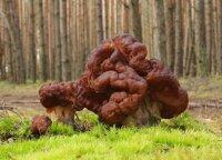 Lietuvos miškuose – pavasarinių grybų galybė: Paltanavičius pasidalijo receptu
