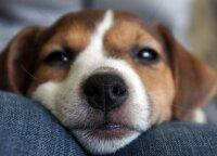 Lietuviška šunų veislė, rašytiniuose šaltiniuose minima dar 1556 metais