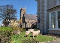 Karantino uždarytame Velso kurorte šeimininkauja ožkos