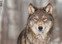 Vilkas papjovė du prie būdos pririštus šunis, šeima bijo dėl vaikų