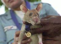 Žiurkinas buvo apdovanotas aukso medaliu už pagalbą ieškant sausumos minų