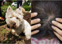 Šuns parsinešta erkė įsisiurbė Jurgitai į galvą: tokios erkių gausos kaip šiemet moteris dar nematė