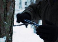 Miškininkai parodė, kaip tiksliai apskaičiuoti medžių amžių
