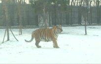 Pripūstus balionus primenantys Sibiro tigrai užkariauja internetą