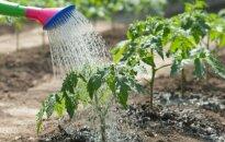 5 laistymo klaidos, kurias daro nepatyrę sodininkai