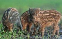 Alytaus rajone nustatytas naujas kiaulių maro atvejis
