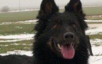 Chodsko šunys – judrių ir linksmų keturkojų mylėtojams