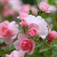 Sodo sklype - keli šimtai rožių