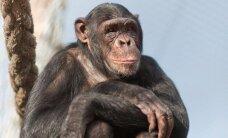 Šimpanzė Regina po griežto karantino mėnesių išleista į lauką