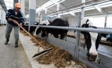 Išmokos už suvalgytų karvių pieną