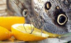 Kaune prasidėjo įspūdinga drugelių paroda