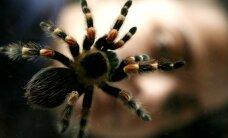 Vienuoliktokas laisvalaikį leidžia tarp nuodingų tarantulų, egzotiškų pelių ir tarakonų