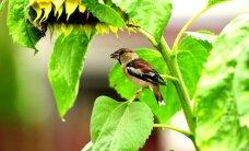 Paukštis, kuris lesa vyšnių kauliukus, o kitas tautas žavi savo snapu