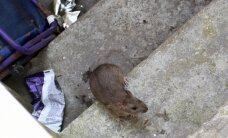 Miesto centrą okupuoja žiurkės