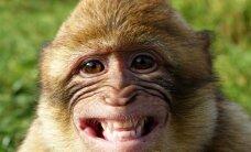 Neįtikėtina – oro bendrovė atsisakė skraidinti beždžiones laboratorijoms