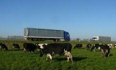 Pieno ūkyje – hamletiški klausimai