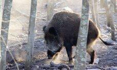 Kiaulių maras. Ką daryti, kad pavojingas užkratas paliktų Europą