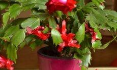 Kaip auginti kalėdinį kaktusą, kad jis džiugintų ne vienerius metus