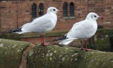 Paukščiai kai kam trukdo ramybę