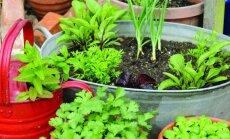 Sezono aktualijos: daržo alternatyva