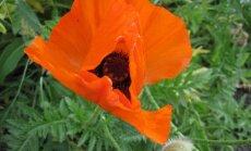 5 prieskoniniai augalai, kurie gali būti nuodingi