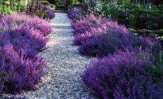 Atsparūs šalčiui daugiamečiai augalai, kurių nereikia ypatingai prižiūrėti
