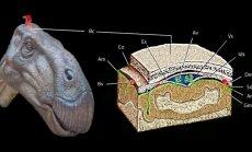 Dinozauro smegenų iliustracija