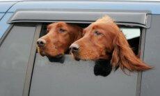 Šunys automobilyje