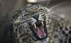 Leopardas Indijos laukinės gamtos rezervate  (asociatyvi nuotr.)