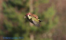 Žebenkštis, skrendanti ant genio sprando/ Martin Le May nuotr.