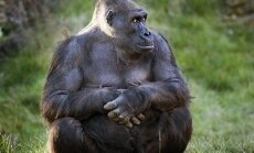 Gorila sėdi Londono zoologijos sode.