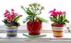 Kokios gėlės padeda pritraukti meilę į namus?