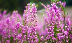 Kokios gėlės nebijo rudens orų?