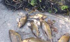 Brakonieriaus sugautos žuvys