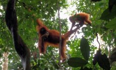 Orangutanai Š.Sumatroje, Indonezija