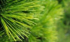 Spygliuočių auginimo kieme gudrybės: jau metas sodinti