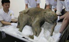 Sibiro platybėse sušalusi mamuto jauniklė Liuba
