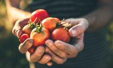 Dažnai pasitaikančios klaidos, kurios yra daromos auginant pomidorus