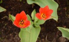 Kauno botanikos sode - tulpių žydėjimas