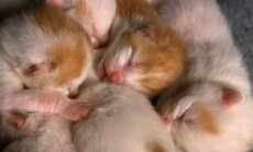 Naujagimiai kačiukai.