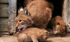 Kauno zoologijos sodo lūšų šeimyna pagausėjo dviem mažyliais