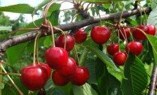Trešnių veislės, kurias geriausia auginti Lietuvoje