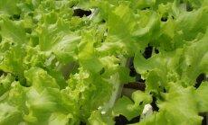 Prasideda salotų sezonas: kaip sulaukti gausaus derliaus