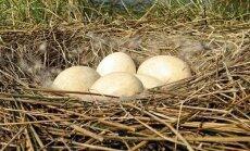 Kiaušiniai lizde