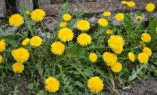 5 pavasarinės piktžolės, kurios vertos aukso