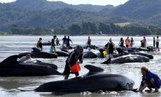 Naujosios Zelandijos paplūdimyje įstrigo dar apie 200 delfinų