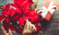 Puansetijos – Kalėdų simbolis ant palangės