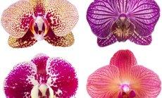 Viskas apie orchidėjų priežiūrą žiemą