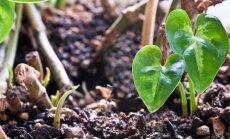 Kodėl vieni kambariniai augalai žiemą miega, o kiti žydi?