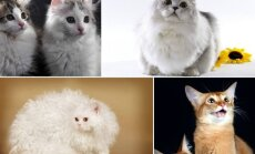 Neįprastų veislių katės (Organizatorių nuotr.)